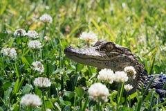 Niespodzianka gość - Amerykański aligator na gazonie wśród flowerin zdjęcie stock