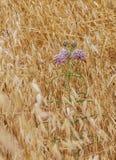 Niespodzianka Różowy Wildflower w morzu Wysuszone Złote trawy w Ca fotografia stock