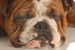 nieszczęśliwy psi scowl Obrazy Royalty Free