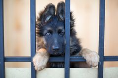 Nieszczęśliwy szczeniak za barami w schronieniu Obrazy Royalty Free