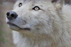 Nieszkodliwy wilk Fotografia Royalty Free
