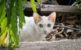 Niet binnenlandse kat Stock Foto