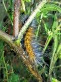 Niet een worm, nog niet een vlinder Stock Afbeeldingen