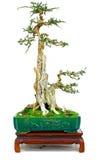 Niet geïdentificeerde bonsaiinstallatie Royalty-vrije Stock Fotografie