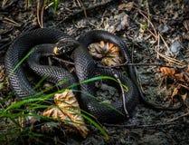 Niet-giftige slang, Natrix Natrix, ringslang close-upportrai stock fotografie