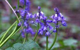 Niet-scripta van Hyacinthoides van klokjebloemen in Engeland royalty-vrije stock fotografie