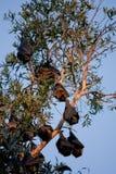 Nietoperza koloni obwieszenie od drzewa przeciw niebieskiemu niebu Zdjęcia Stock
