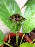 Nietoperza kwiat Obrazy Stock