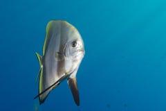 Nietoperza rybi portret Fotografia Stock