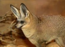 Nietoperza Fox Słyszący zbliżenie Fotografia Royalty Free