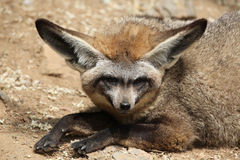 nietoperza słyszący lisa megalotis otocyon Obraz Royalty Free