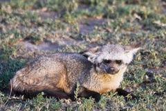 nietoperza słyszący lisa serengeti Fotografia Stock
