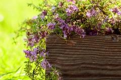 Nieuprawna kwiatonośna macierzanka Zdjęcia Stock