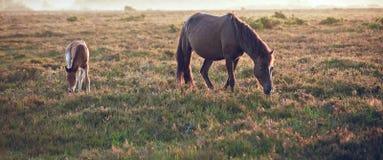 Nieuw Bosponeymerrie en veulen in landsca Stock Foto's