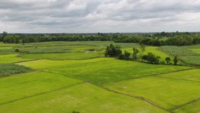 Nieuw - de geboren rijst heeft groene bladeren stock footage