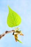Nieuw de lenteblad bij blauwe hemel Royalty-vrije Stock Fotografie