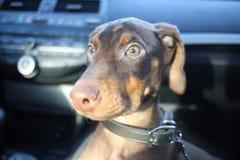 Nieuw doberman puppy Royalty-vrije Stock Foto's