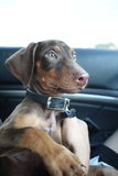 Nieuw doberman puppy Royalty-vrije Stock Afbeelding
