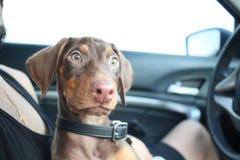 Nieuw doberman puppy Stock Afbeeldingen