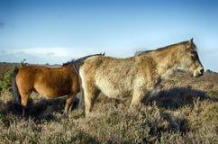 Nieuw Forest Ponies Stock Fotografie