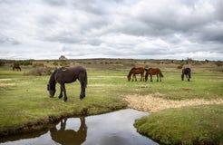 Nieuw Forest Ponies Royalty-vrije Stock Afbeeldingen