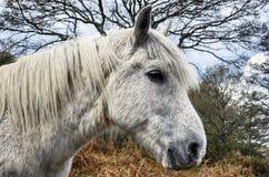 Nieuw Forest Pony Stock Afbeeldingen