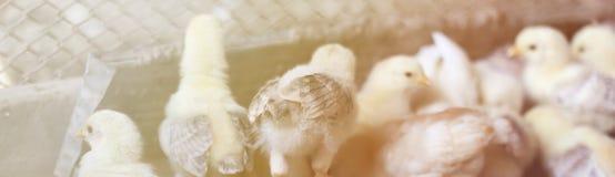 Nieuw - geboren chiken Een groep kleine Biokippen op een huislandbouwbedrijf Kip het Voeden Gestemd beeld stock afbeelding