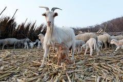 Nieuw - geboren geit met moeder. royalty-vrije stock afbeeldingen