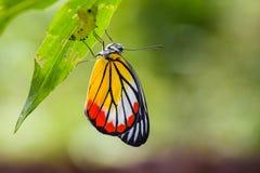 Nieuw - geboren Geschilderde Jezebel Vlinder (indica Delias hyparete) stock foto's