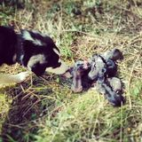Nieuw - geboren honden Stock Fotografie