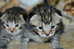 Nieuw - geboren Katjes Stock Afbeelding