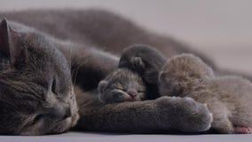 Nieuw - geboren katjes die op hun mamma, eerste dag slapen van het leven stock footage