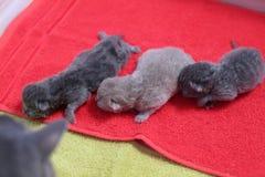 Nieuw - geboren katjes op handdoek royalty-vrije stock afbeelding
