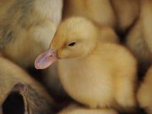 Nieuw - geboren kuikens Royalty-vrije Stock Fotografie