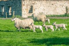 Nieuw - geboren lammeren en hun moedersschapen die die een landbouwbedrijf overgaan door oorlog wordt aangestoken stock fotografie
