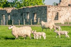 Nieuw - geboren lammeren en hun moedersschapen die die een landbouwbedrijf overgaan door oorlog wordt aangestoken royalty-vrije stock foto
