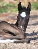Nieuw - geboren veulen Royalty-vrije Stock Foto's