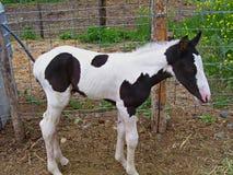 Nieuw - geboren veulen Royalty-vrije Stock Foto