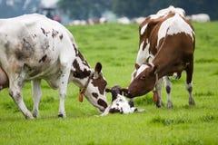 Nieuw - geboren weinig stier (2) Stock Afbeeldingen