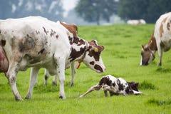 Nieuw - geboren weinig stier Stock Fotografie
