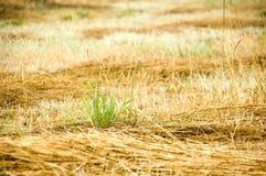 Nieuw gras Royalty-vrije Stock Afbeelding