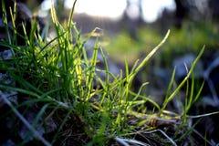 Nieuw gras Stock Foto