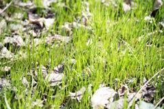Nieuw groen gras in de Lente Royalty-vrije Stock Foto