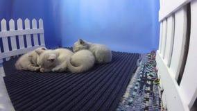 Nieuw - het geboren katjes slapen stock footage