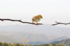 Nieuw - het geboren kuiken die zich op droge boomtak bevinden en probeert aan het springen aan Royalty-vrije Stock Afbeelding