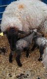 Nieuw - het geboren lammeren voeden Royalty-vrije Stock Afbeeldingen