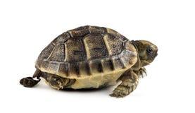Nieuw - het geboren schildpad geïsoleerd zuiveren, stock fotografie