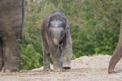 Nieuw - het geboren vrouwelijke Aziatische olifant spelen Stock Foto