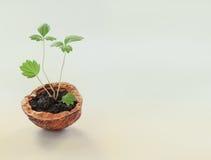 Nieuw het levensconcept van het Ecoontwerp Groene spruiten met bladeren en okkernootshell macromening het groeien geweven install Stock Afbeeldingen