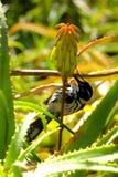 Nieuw Holland Honeyeater stock afbeeldingen